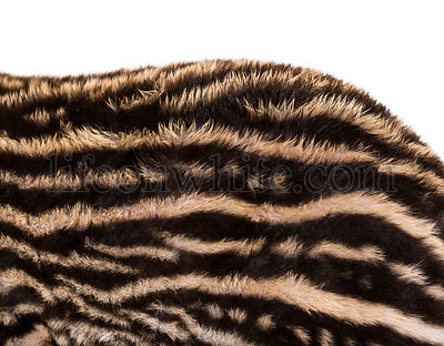 Close up of Month old Brazilian tapir's fur in front of white background