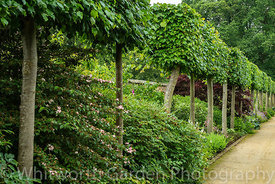 An avenue of Lime trees - Tilia x europaea - in The Plantsman's Walk at Scampston Hall Walled Garden, North Yorkshire, design...