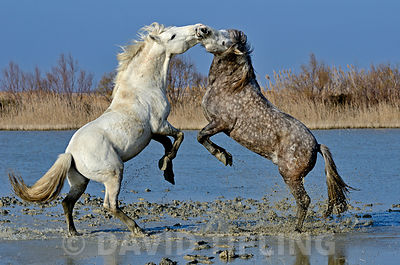 Stallions (Camargue Horses) fighting on marsh Camargue, Provence, France