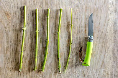 Preparation of Cornus stems for cuttings