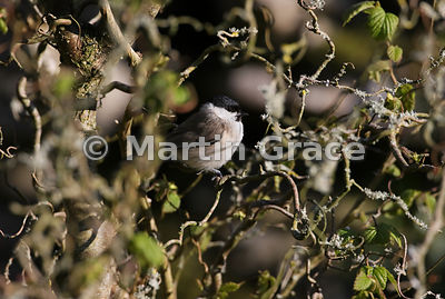 Marsh Tit (Poecile palustris) deep in a garden Contorted Hazel (Corylus avellana Contorta), Lake District National Park, Cumb...