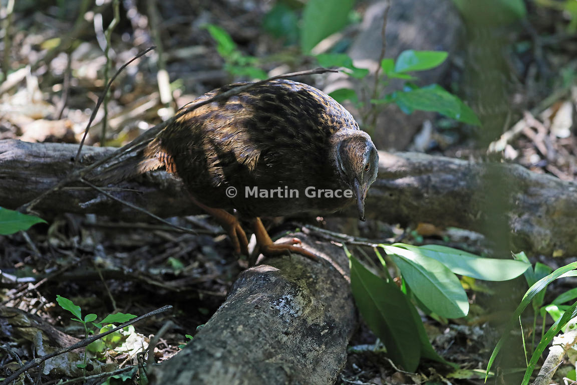 North Island Weka (Gallirallus australis greyi) forages for food in dappled sunlight on the forest floor, Kapiti Island, Nort...