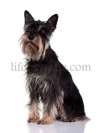 Schnauzer, 6 Years Old, sitting in front of white background