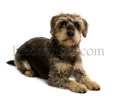 Crossbreed with a Schnauzer, 5 years old, sitting in front of white background