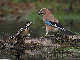 Eurasian Jay, Garrulus glandarius, confronting Great spotted Woodpecker Dendrocopos major, North Norfolk, winter