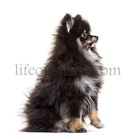 Side view of a Sitting Pomeranian, isolated on white
