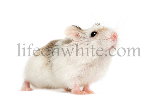Hamster smelling, isolated on white