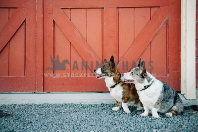 Two corgis sitting in front of some red barn doors