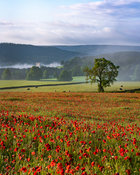 Poppy field Baslow with Chatsworth