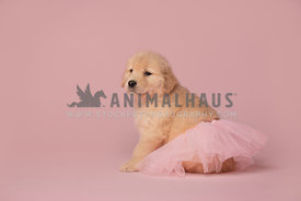 young golden retriever puppy wearing pink tutu