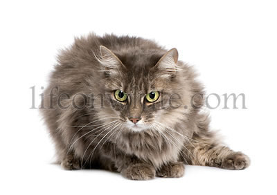 Crossbreed angora cat and european cat (9 years)