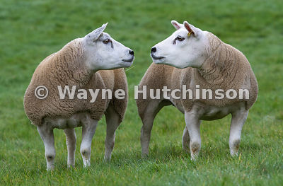 Pair of Texel sheep touching noses. North Yorkshire, UK.