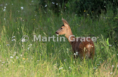 Roe Deer doe (Capreolus capreolus) alert to danger, in golden evening sunlight in a South Lakeland grazing meadow, June, Lake...