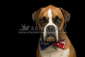 Boxer Dog Wearing Red White and Blue Sparkly Bowtie on black background