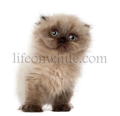 Portrait of Highland fold kitten, 5 weeks old, against white background