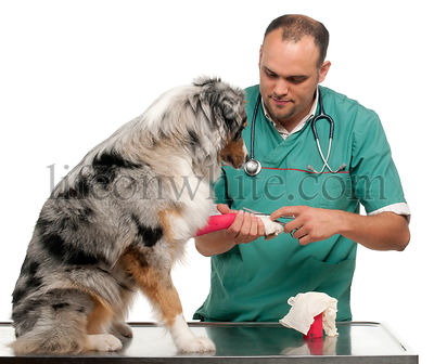 Vet wrapping a bandage around an Australian Shepherd\\\\'s paw in front of white background
