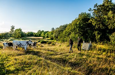 Hikers and cows on Mors, Denmark 5