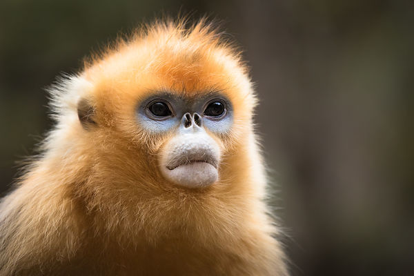 Golden Snub-nosed Monkey Portrait I