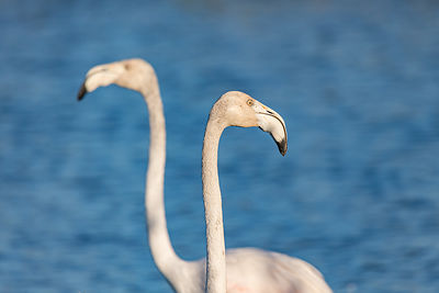 Flamant rose (Phoenicopterus ruber) / Greater flamingo