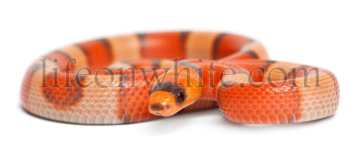 Tricolor hypomelanistic Honduran milk snake, Lampropeltis triangulum hondurensis, in front of white background