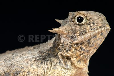 Round-tailed horned lizard / Phrynosoma modestum