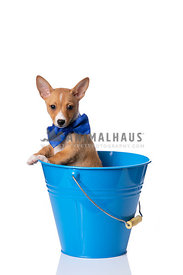 Podengo Puppy wearing blue bowtie in blue bucket