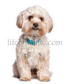 Mixed-Breed Dog with a Yorkshire Terrier (1 year old)