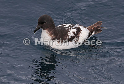 Cape Petrel (Daption capense), Kaikoura, Canterbury, South Island, New Zealand
