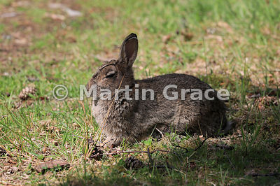 European Rabbit (Oryctolagus cuniculus) dozing in the sun, Strathspey, Scottish Highlands