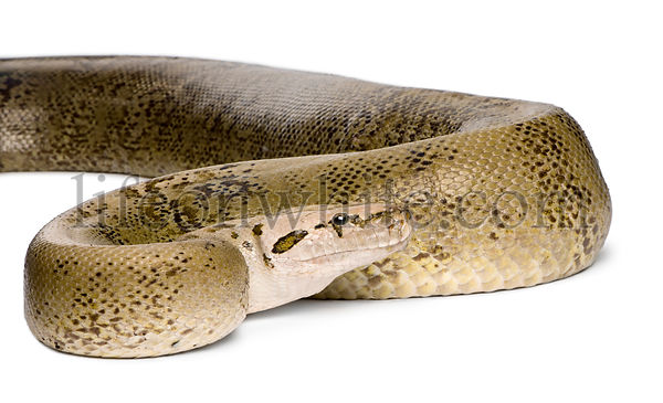 Burmese Python, Python molurus bivittatus, granite phase, 10 years old, studio shot
