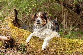 A shepherd dog on a mossy log