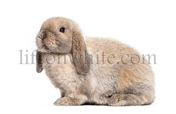 Mini lop rabbit, isolated on white