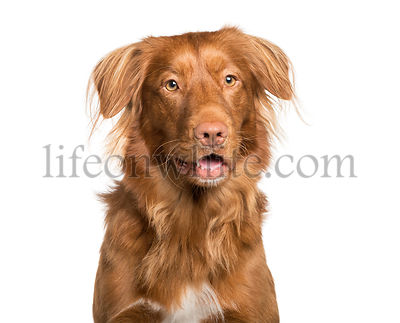 Toller dog in front of white background