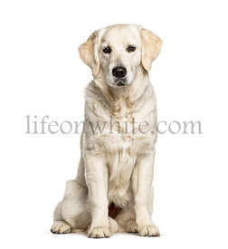 Golden Retriever, isolated on white, dog