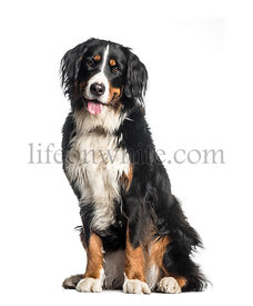 Bernese Mountain Dog, 1 year old, sitting in front of white background