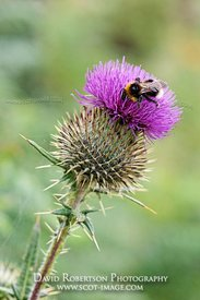 Image - Cotton Thistle, Onopordon acanthium, With buff-tailed bumblebee, Bombus terrestris