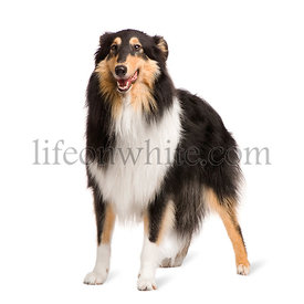 Rough Collie (2 years)