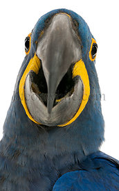 Hyacinth Macaw, Anodorhynchus hyacinthinus, 30 years old, in front of white background