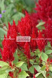 Celosia argentea plumosa 'Fresh Look Red'