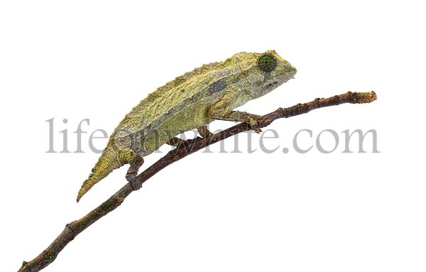 Side view of a Bearded leaf chameleon on a branch, isolated