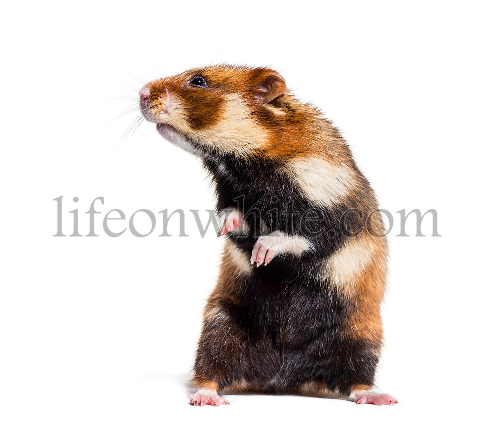 European hamster on hind legs, Cricetus cricetus, in front of white background