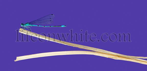 Azure damselfly, Coenagrion puella, on a straw in front of a purple background