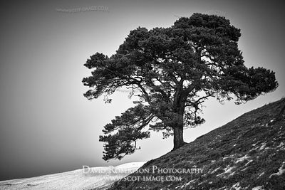 Prints & Stock Image - Lone Scots Pine Tree on the Ochil Hills, Clackmannanshire, Scotland.  Black and White