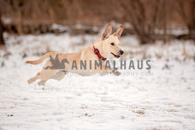 A small mixed breed running over the snow