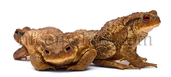 Three common toads or European toads,  Bufo bufo, in front of white background