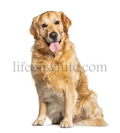 Panting Golden Retriever dog sitting in front of white
