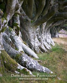 Row of Beech trees, Lammermuir Hills, East Lothian, Scotland