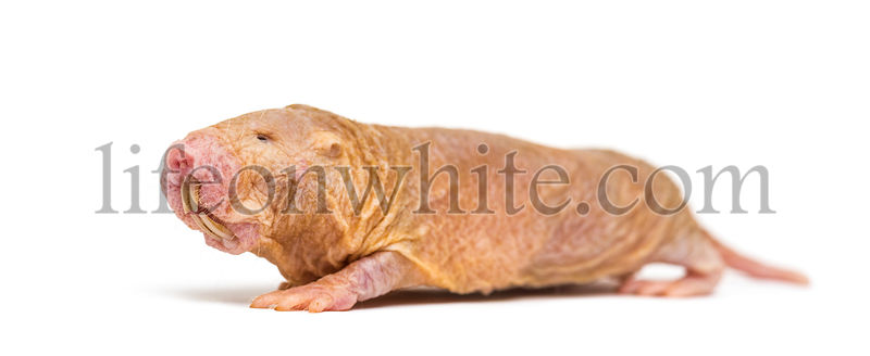 Naked Mole-rat, hairless rat, isolated on wihte