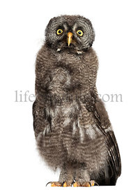 Great Grey Owl or Lapland Owl, Strix nebulosa, 2 months old against white background