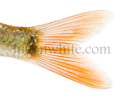 Close-up of a Common roach\'s caudal fin, Rutilus rutilus, isolated on white